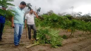 """O Instituto de Defesa Agropecuária e Florestal do Espírito Santo (Idaf), iniciou, nessa segunda-feira (30), a primeira etapa da """"Operação Papaya"""" nos municípios produtores de mamão do Estado."""