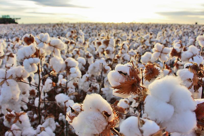 Colheita de algodão se inicia em junho