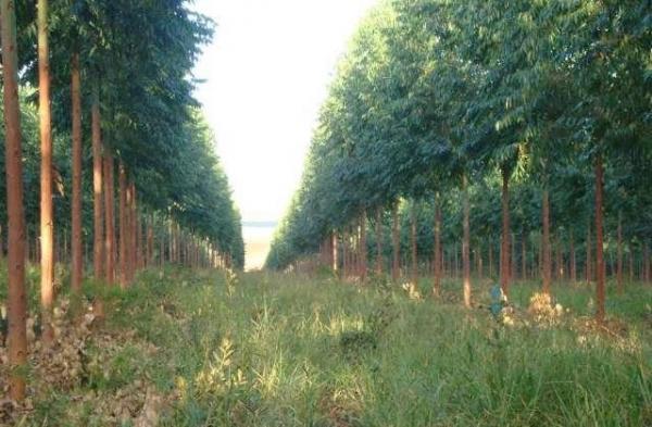 MP investiga danos causados por plantações de eucaliptos no Piauí